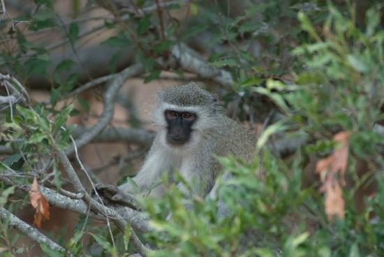 Bushwise Safaris: Cute little monkey