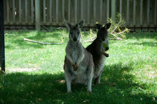 Miller Park Zoo: Hill Wallaroo