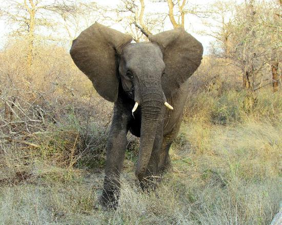Kambaku Safari Lodge: Young Male Elephant Posturing