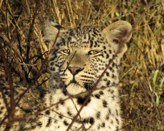 Kambaku Safari Lodge: Female Leopard