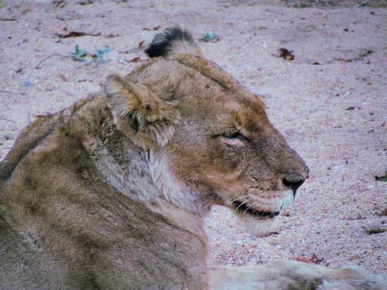 Kambaku Safari Lodge: Female Lion