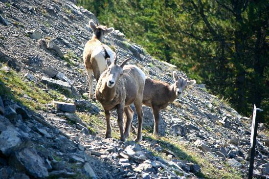 Mountain Goats Uk Tour