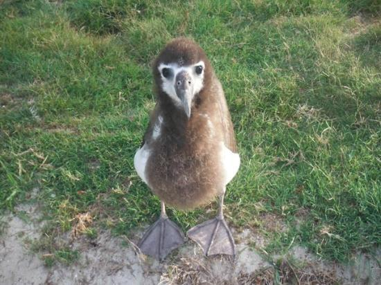Midway Atoll: Albatross Chick
