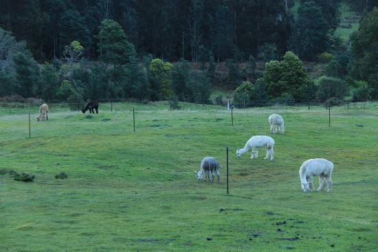 Maydena Country Cabins : RESIDENT ALPACAS