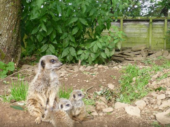 Auchingarrich Wildlife Centre: Meerkat babies