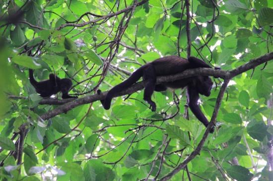 Pachira Lodge: allesteds nærværende howler monkeys