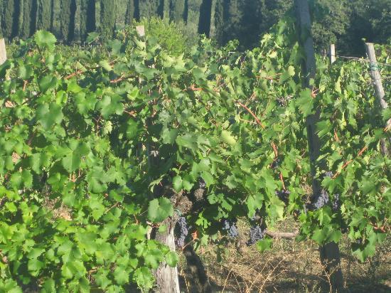 Vineyards - Tenuta di Lupinari