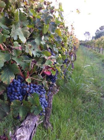 Agriturismo I Vigneti: de druiven bij I Vigneti