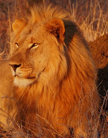 Mateya Safari Lodge: Lions at Madikwe