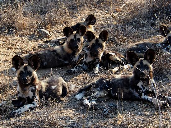 Mateya Safari Lodge: Wild Dogs aplenty