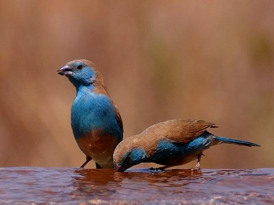 Mateya Safari Lodge: Waxbills