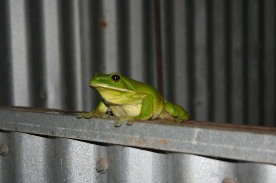 Hill Top Farmstay Accommodation Cooktown: Frogs!