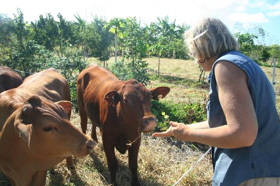 Hill Top Farmstay Accommodation Cooktown: Greeting the cows