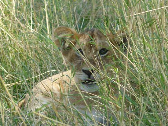 """Olakira Camp, Asilia Africa: Two week old cub giving us the """"once over"""""""