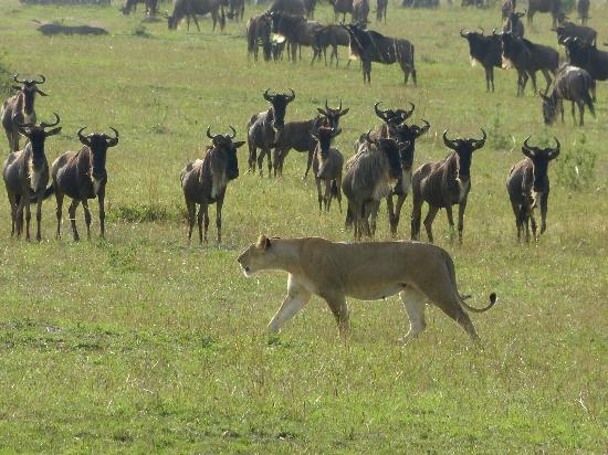 Olakira Camp, Asilia Africa: Looking for her pride, this lioness ignores the wildebeest