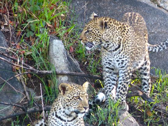 Olakira Camp, Asilia Africa: Two leopard cubs discovered on way to the airstrip