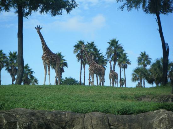 حدائق بوش: Giraffe