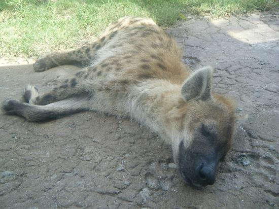 Taman Hiburan Busch Gardens: Another tired hyena