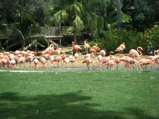 Busch Bahçeleri: Flamingos