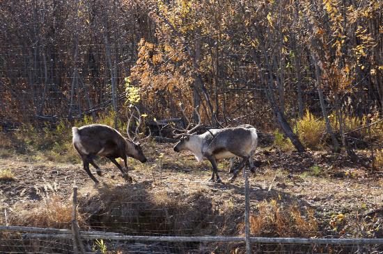 Riverboat Discovery: Reindeer, not to be mistaken for Caribou