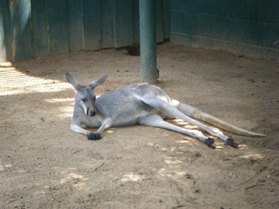 Busch Gardens: Kangaroo