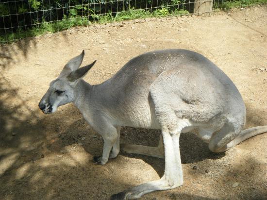 حدائق بوش: Another kangaroo