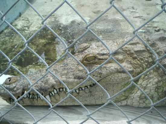 Sawgrass Recreation Park: Crocodile