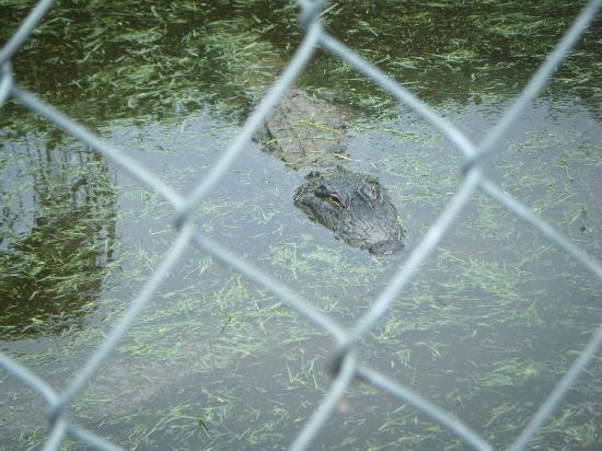 Sawgrass Recreation Park: Alligator shot 6