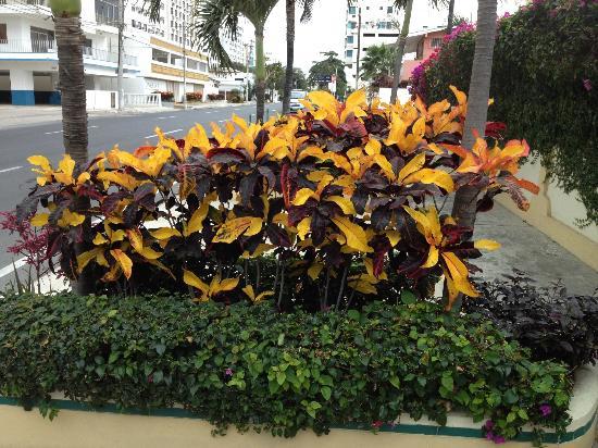 Hotel Amira in Salinas, Ecuador: Hotel plantings along street.