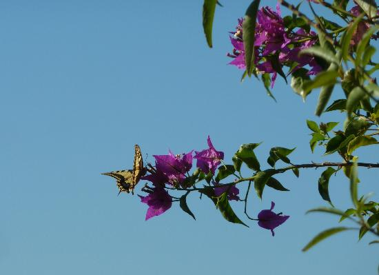 Pounda Paou: Swallowtail on bougainvillea flower