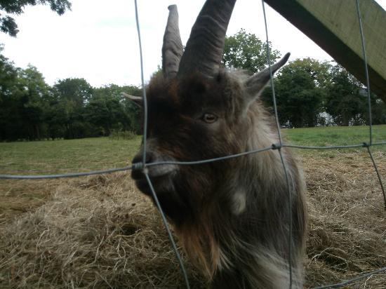 Clonfert Pet Farm: Goat