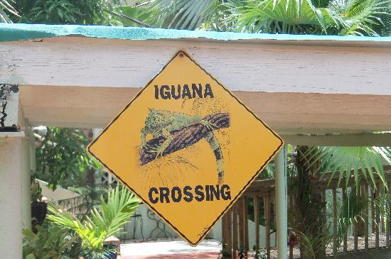 The Green Iguana Hotel: Lots of iguanas!