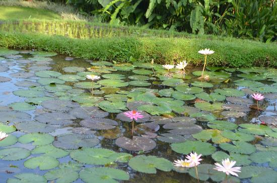 Four Seasons Resort Bali at Sayan: More lily ponds