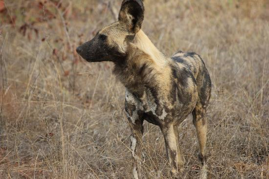 nThambo Tree Camp: African wild dog