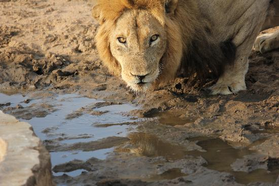 nThambo Tree Camp: Lion looking at me
