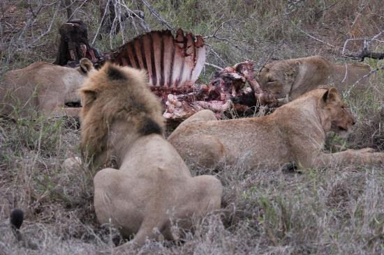 nThambo Tree Camp: Lions feeding on a kill