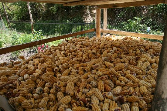 El Albergue Ollantaytambo: Corn drying for chilpa for the hotel restaurant