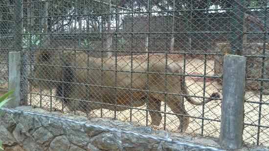 Uberlândia, MG: O leão de perto