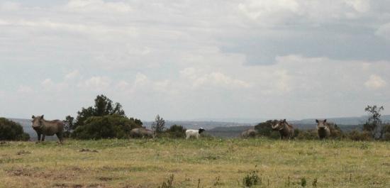 Malu: A lamb amongst the warthogs