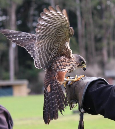 Ngongotaha, Nieuw-Zeeland: Up-close: falconry display
