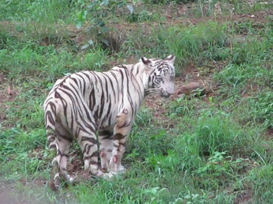 Nandankanan Zoological Park: White tiger - the fame of Nandankanan