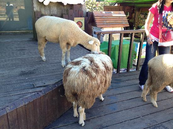 Qingjing Farm Guest House: Hungry sheeps