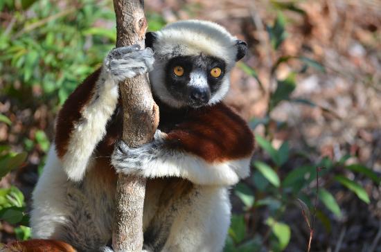 Anjajavy L'Hotel : Sifaka lemur
