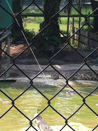 Jong's Crocodile Farm & Zoo: Crocodile feeding show