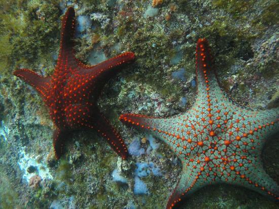 Galapagos Underwater: Seastars