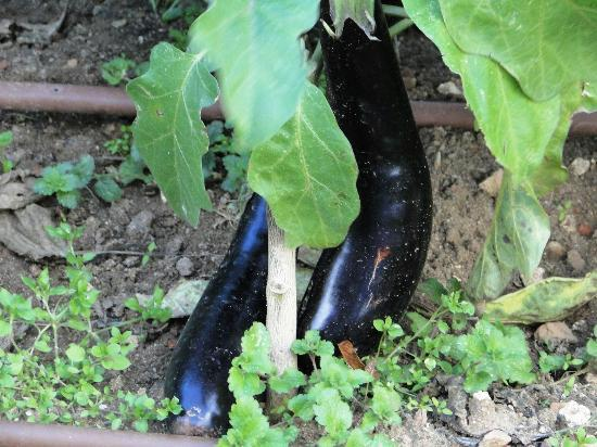 Manoir de Chaix: Aubergines for the table in the kitchen garden