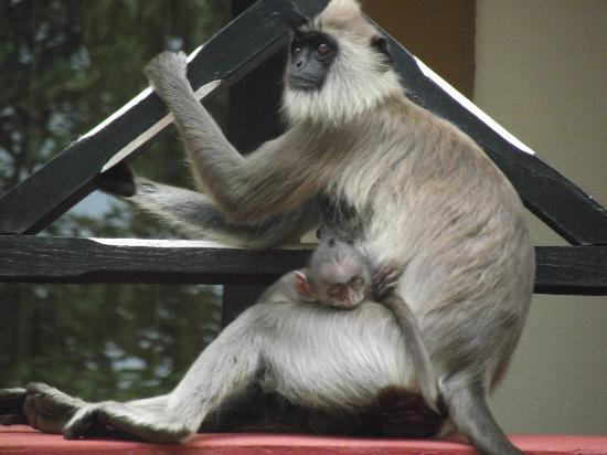 Cinnamon Lodge Habarana: Monkey love