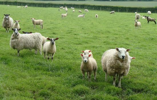 The Dutch House: Observant sheep