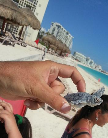 Club Med Cancun Yucatan: Ask reception to free baby turtles at night
