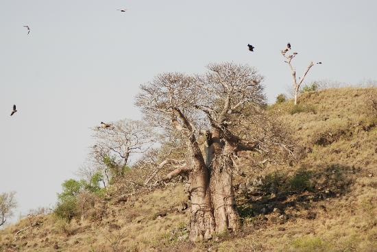Mopani Rest Camp: Vultures